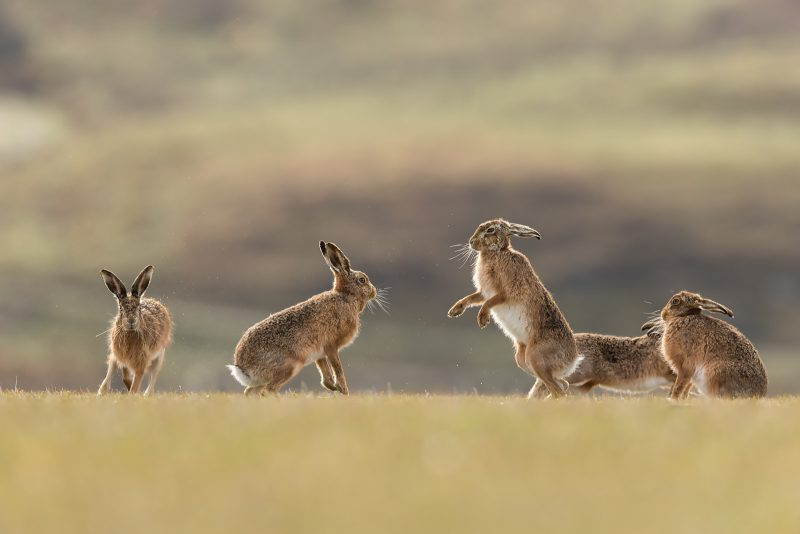 Brown Hare beginning to box