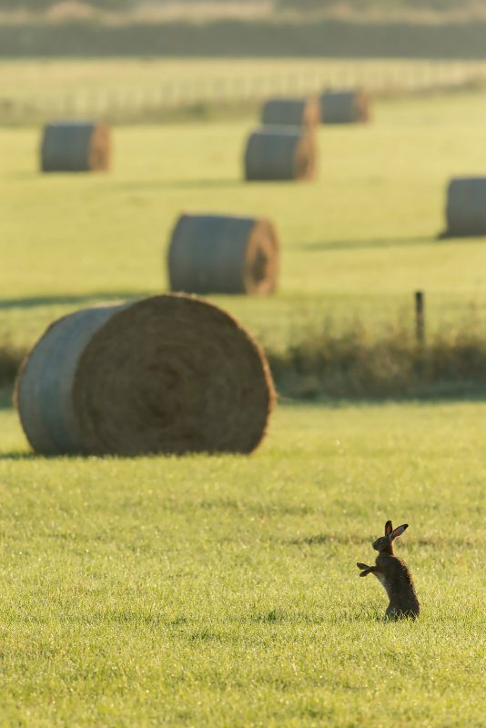 Brown Hare in farmland fields
