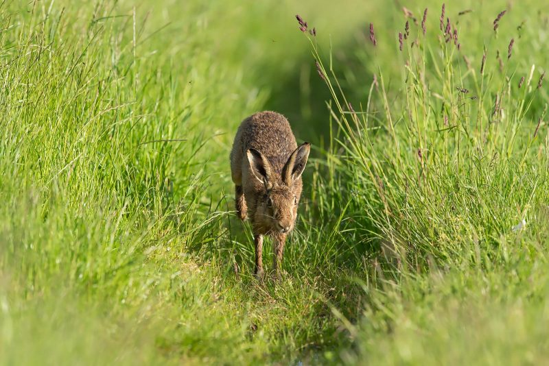 Brown Hare running through field