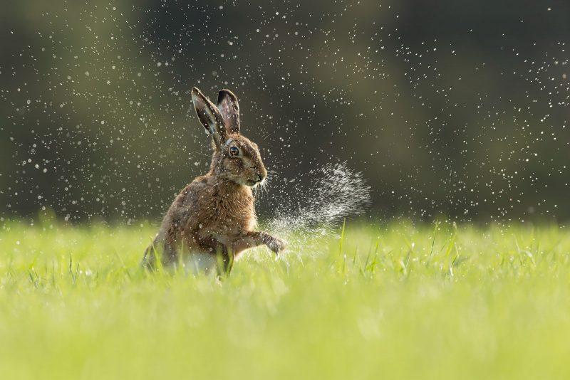 Brown Hare washing