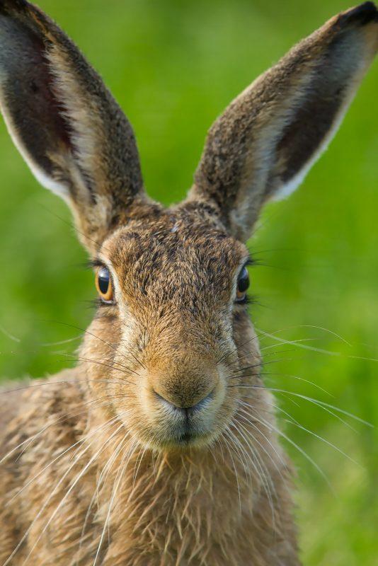 Brown Hare close up portrait