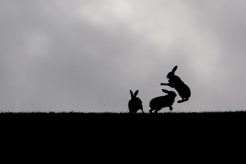 Silhouette of Brown Hare boxing