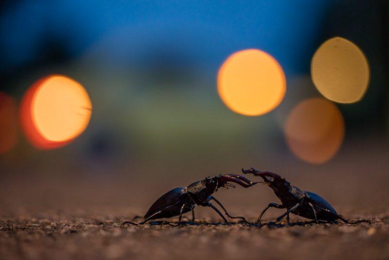 Beetles on a road