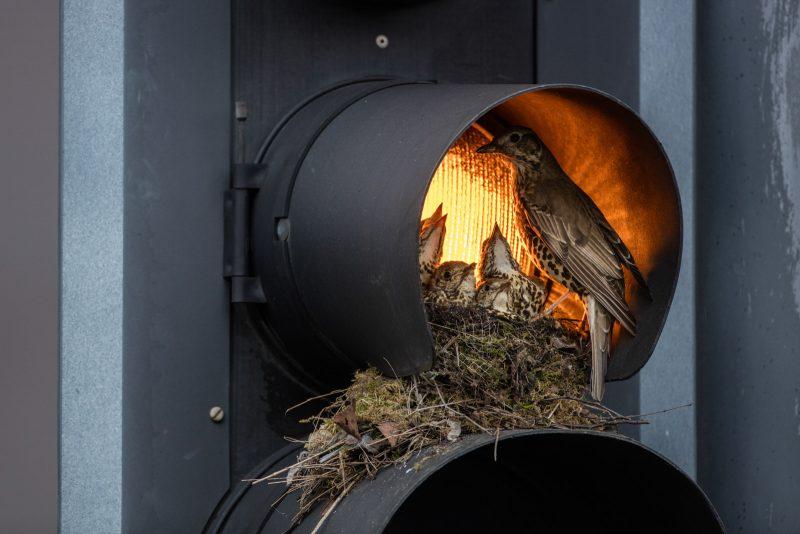 Thrush nest in a traffic light