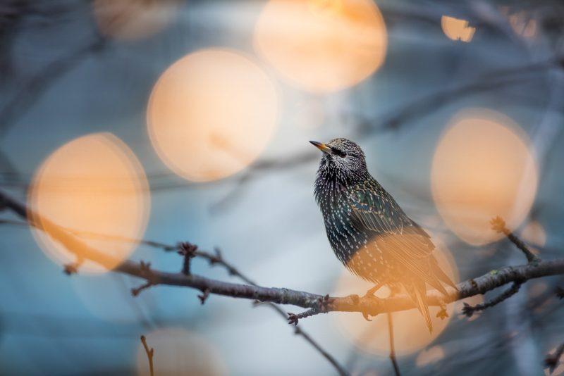 Starling in tree in city