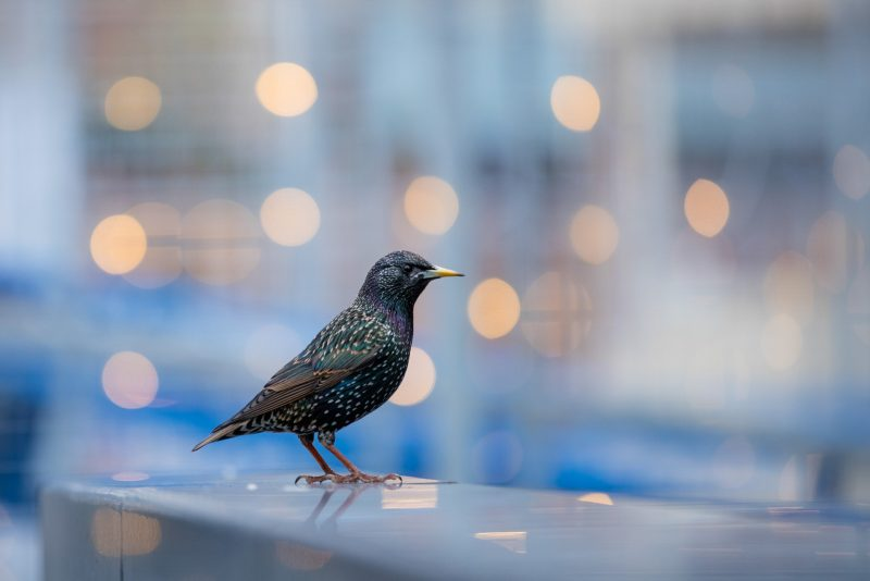 Starling in a city