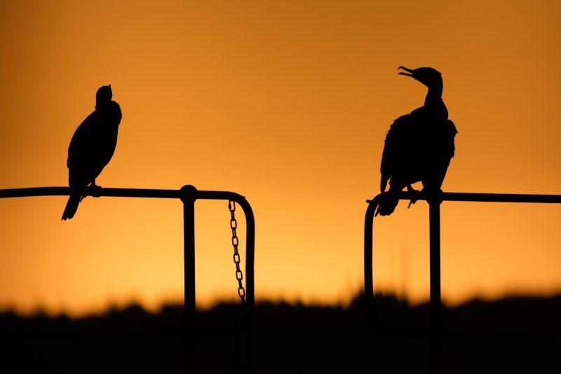 Cormorant urban wildlife photography