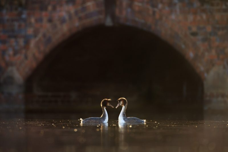 Great-crested grebes courting urban wildlife photography