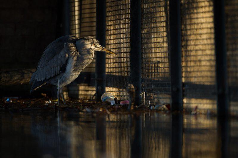 Heron urban wildlife photography