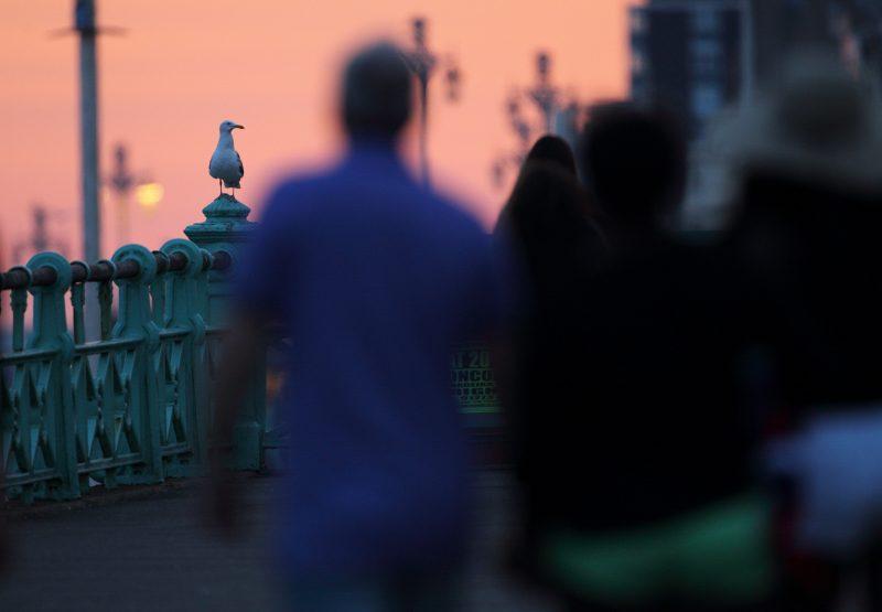Herring gull near people