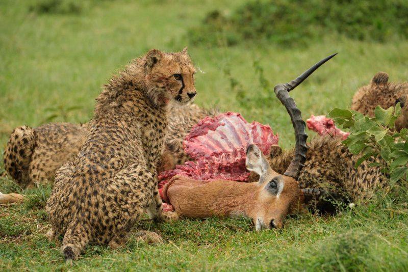 Cheetah feeding on gazelle