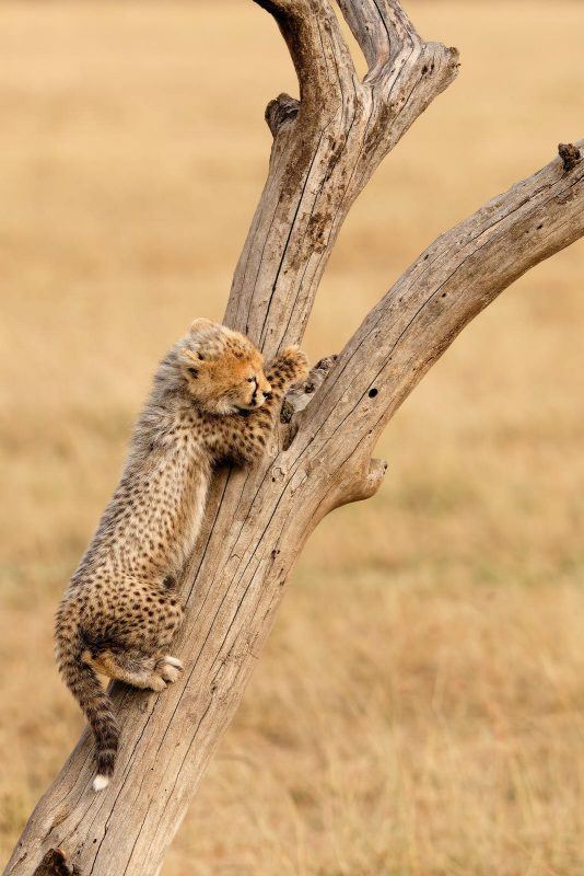 Cub playing and climbing a tree