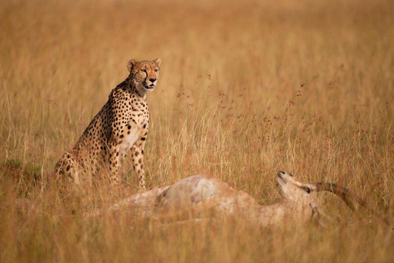 Cheetah near its prey