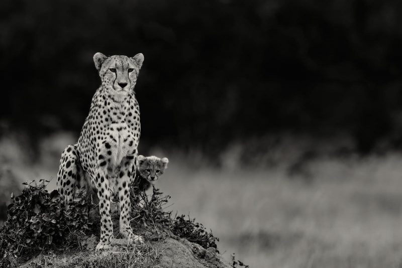 Black and white photo of cheetah with cub