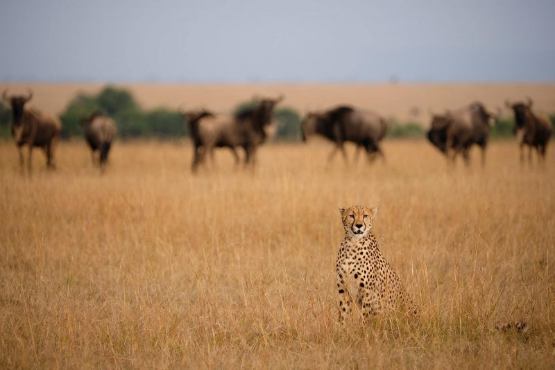 Cheetah with wildebeest in background
