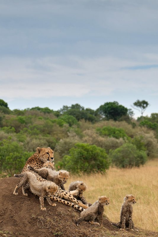 Cheetah with six cubs