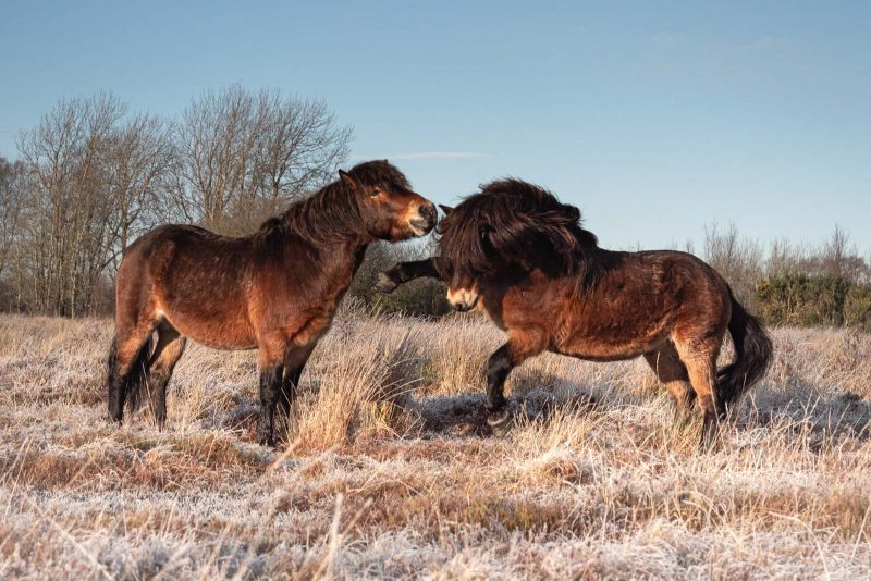 Wild ponies playing