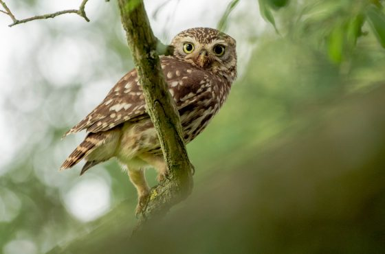 How to Photograph Little Owls-19