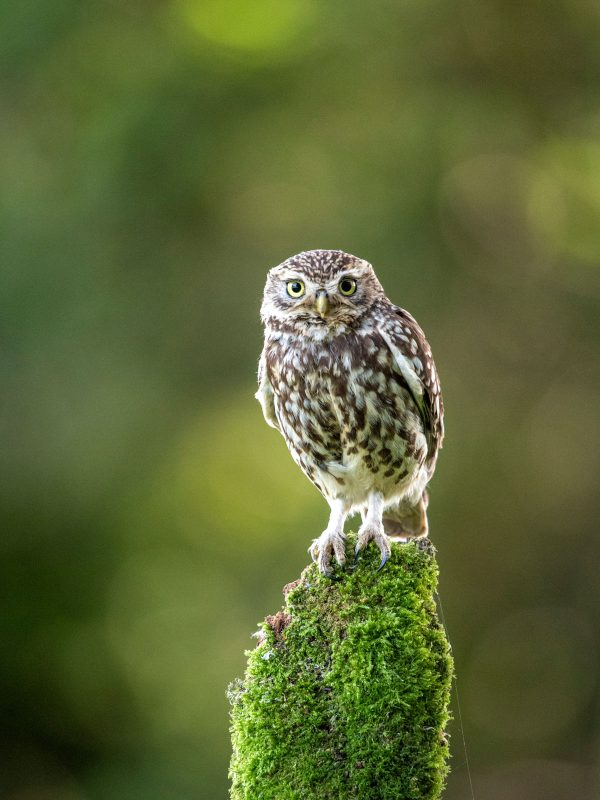 Perched little owl