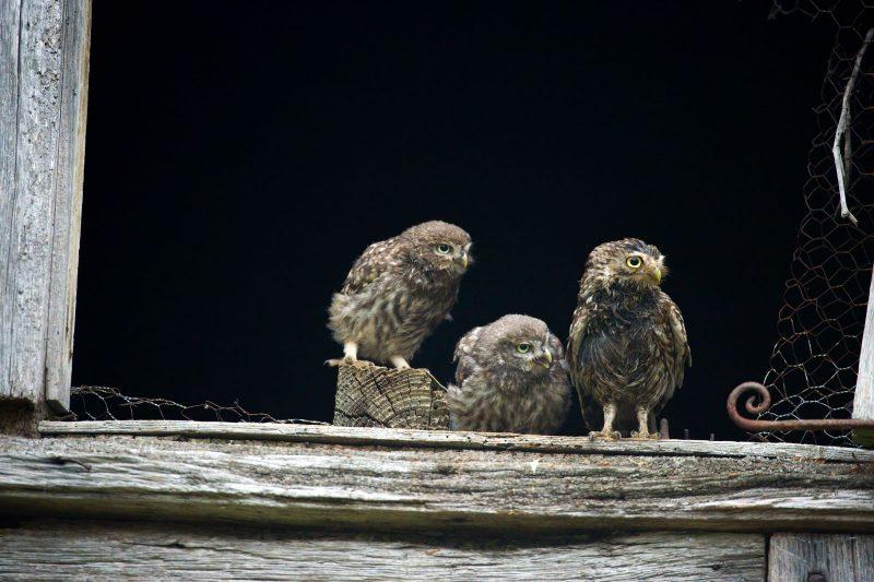 Little owl chicks