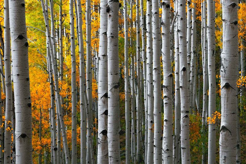 Pin trees in Autumn