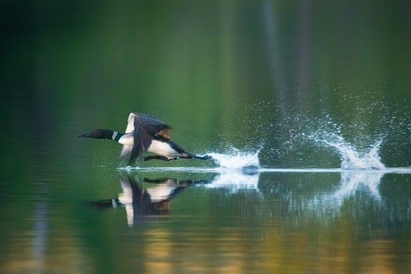 Flying loon