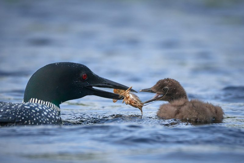 Food pass between loon and chick