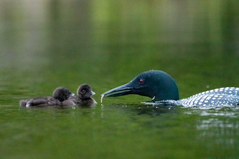 Parent diver feeding chicks