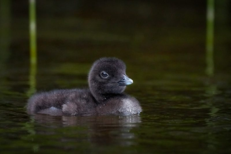 Diver chick