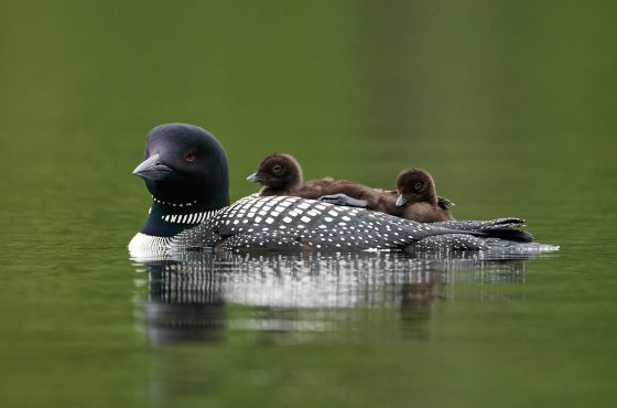 how-to-photograph-loons-and-divers-10
