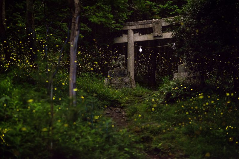Hime fireflies shot at 35mm