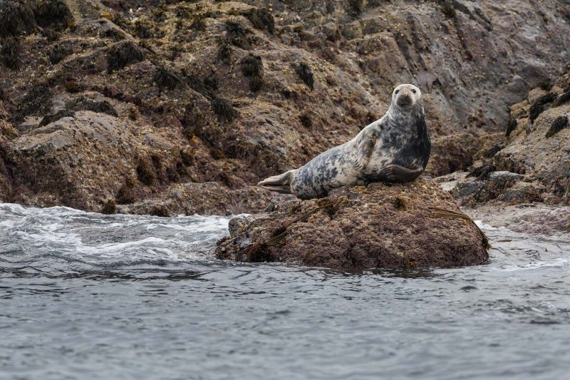 Seal on rock in Wales
