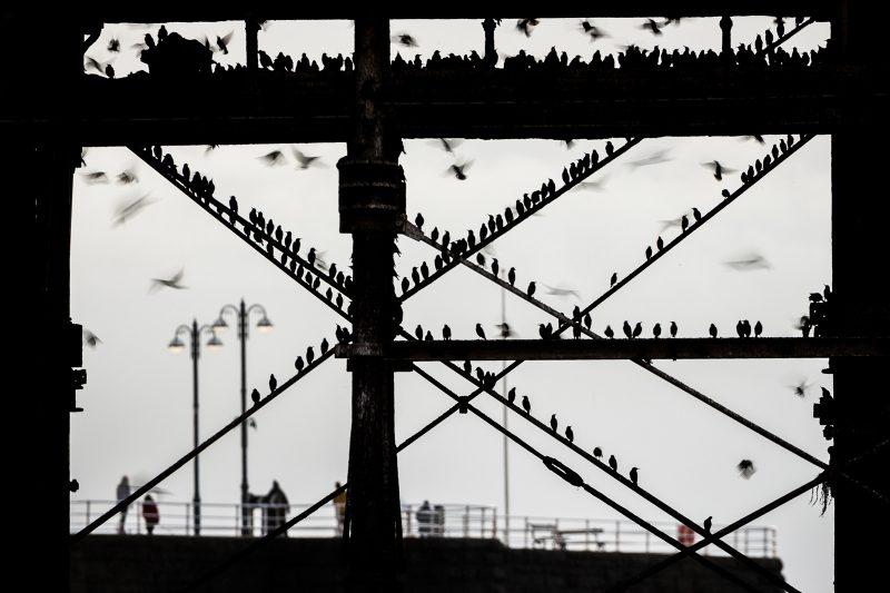 Starlings below pier in Wales