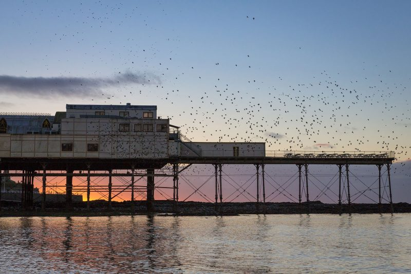 Starlings around pier in Wales