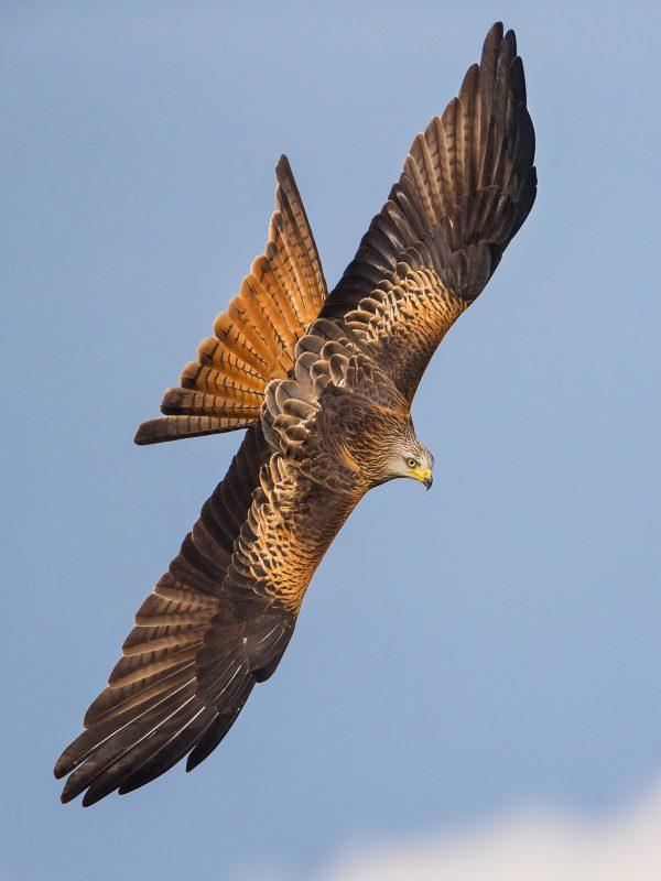 Red kite in flight in Wales