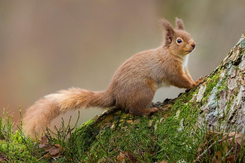 Red Squirrel in Wales