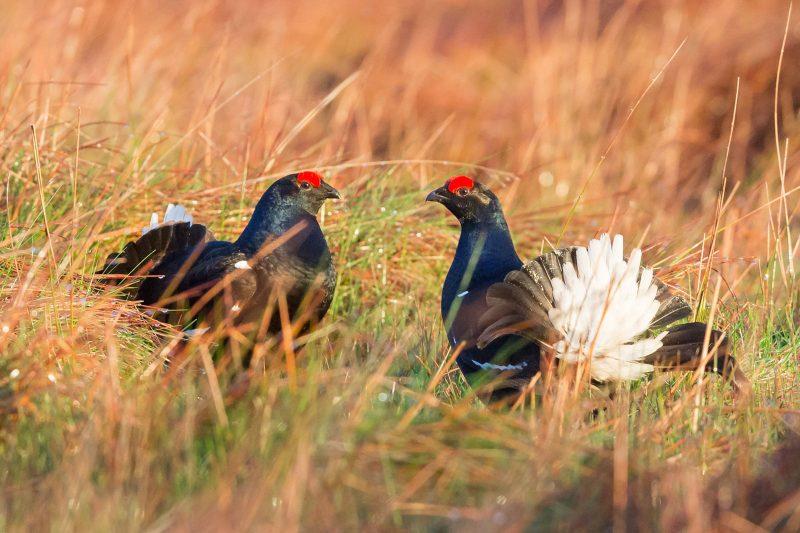 Wildlife in Wales Black Grouse