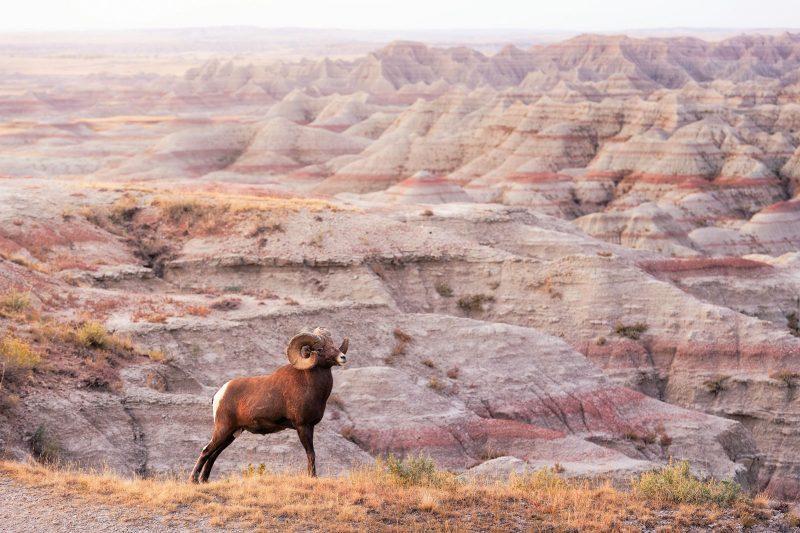 Bighorn sheep at Badlands National Park