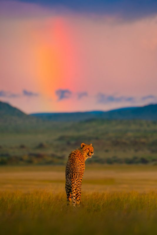 Cheetah and rainbow by Shannon Wild