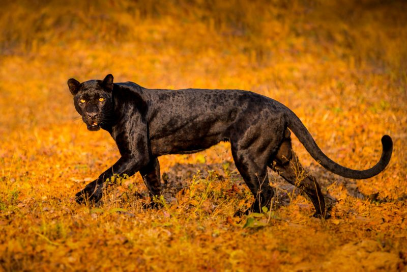 Black Panther in India by Shannon Wild