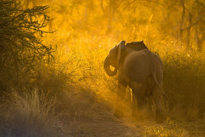 Backlit baby elephant by shannon wild
