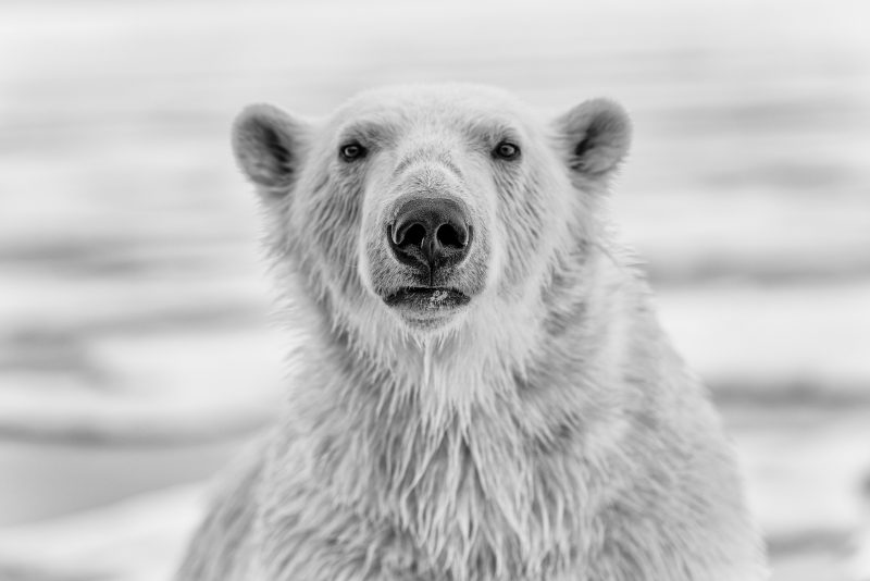 Black and white polar bear portrait by shannon wild