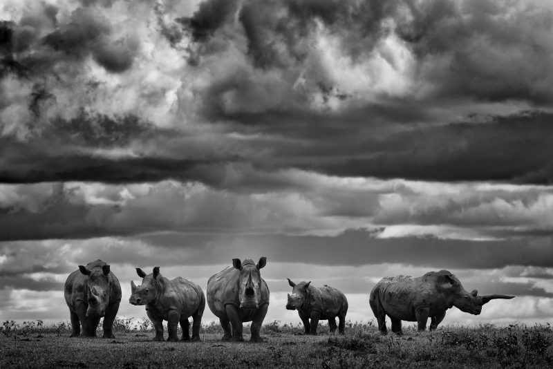 Black and white rhinos by Shannon Wild