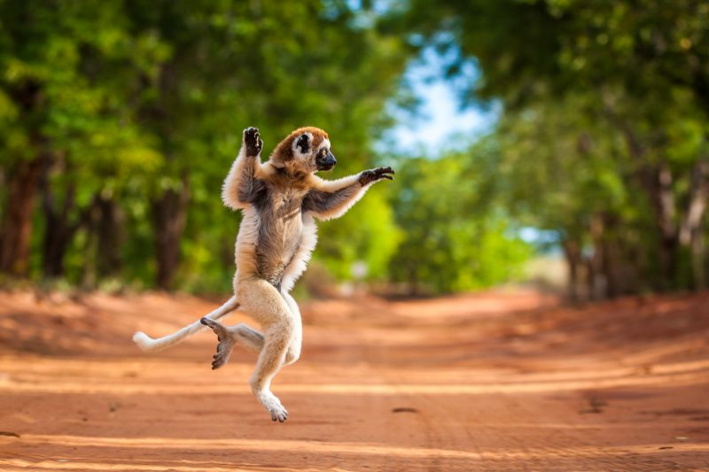 Lemur crossing road by Shannon Wild