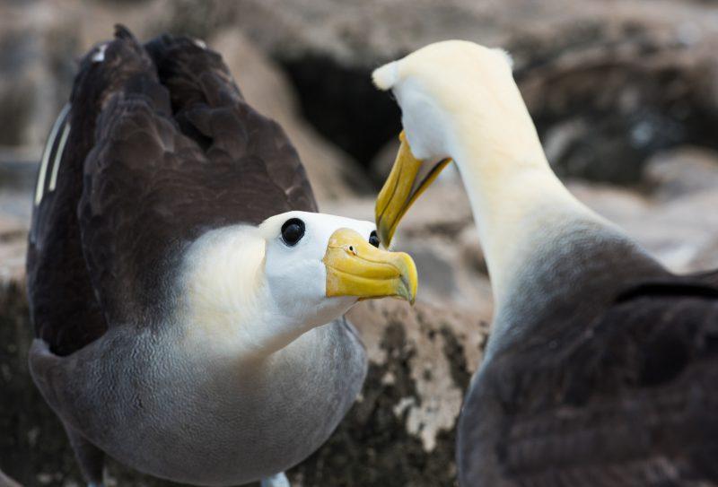 Albatross on Galapagos