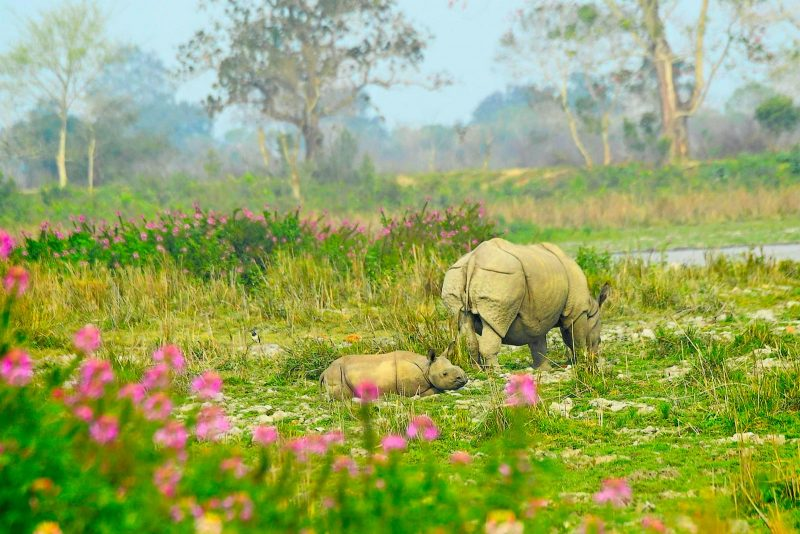 Greater one-horned rhino in India