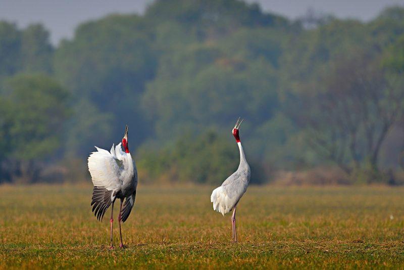 Sarus crane in India