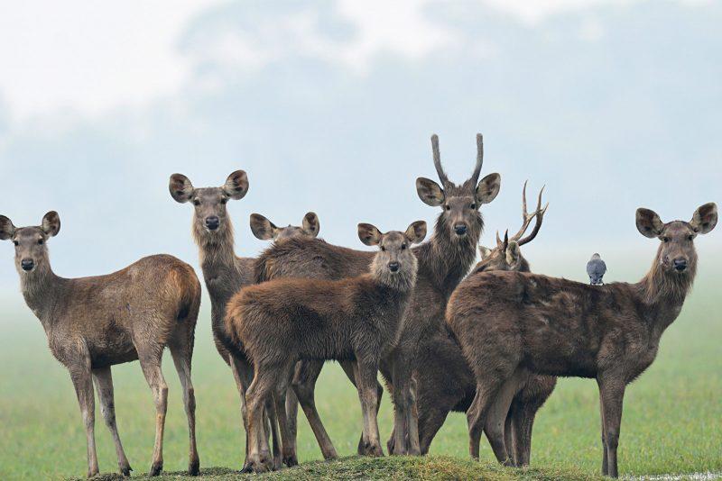Sambar Deer family photo in India