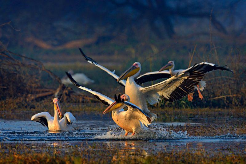 Bharatpur pelican landing in India