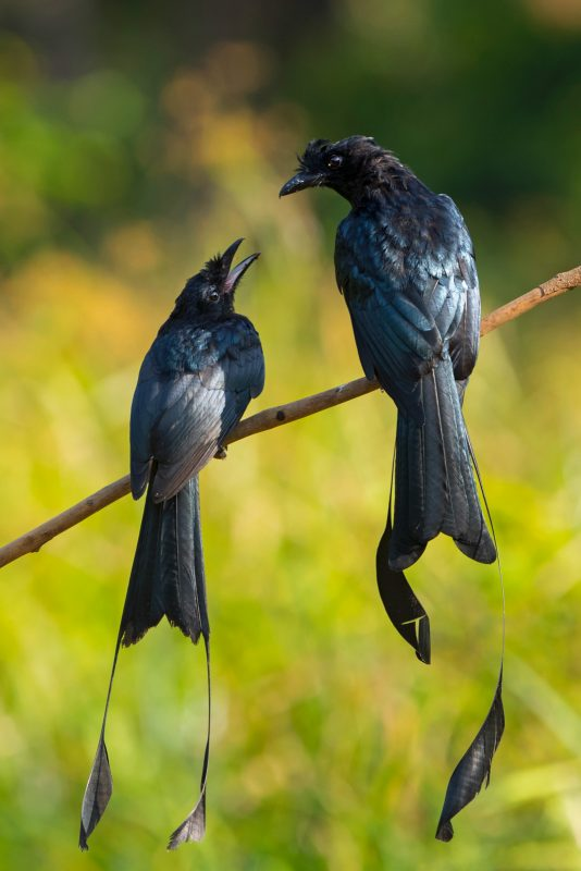Greater racket-tailed drongo in India